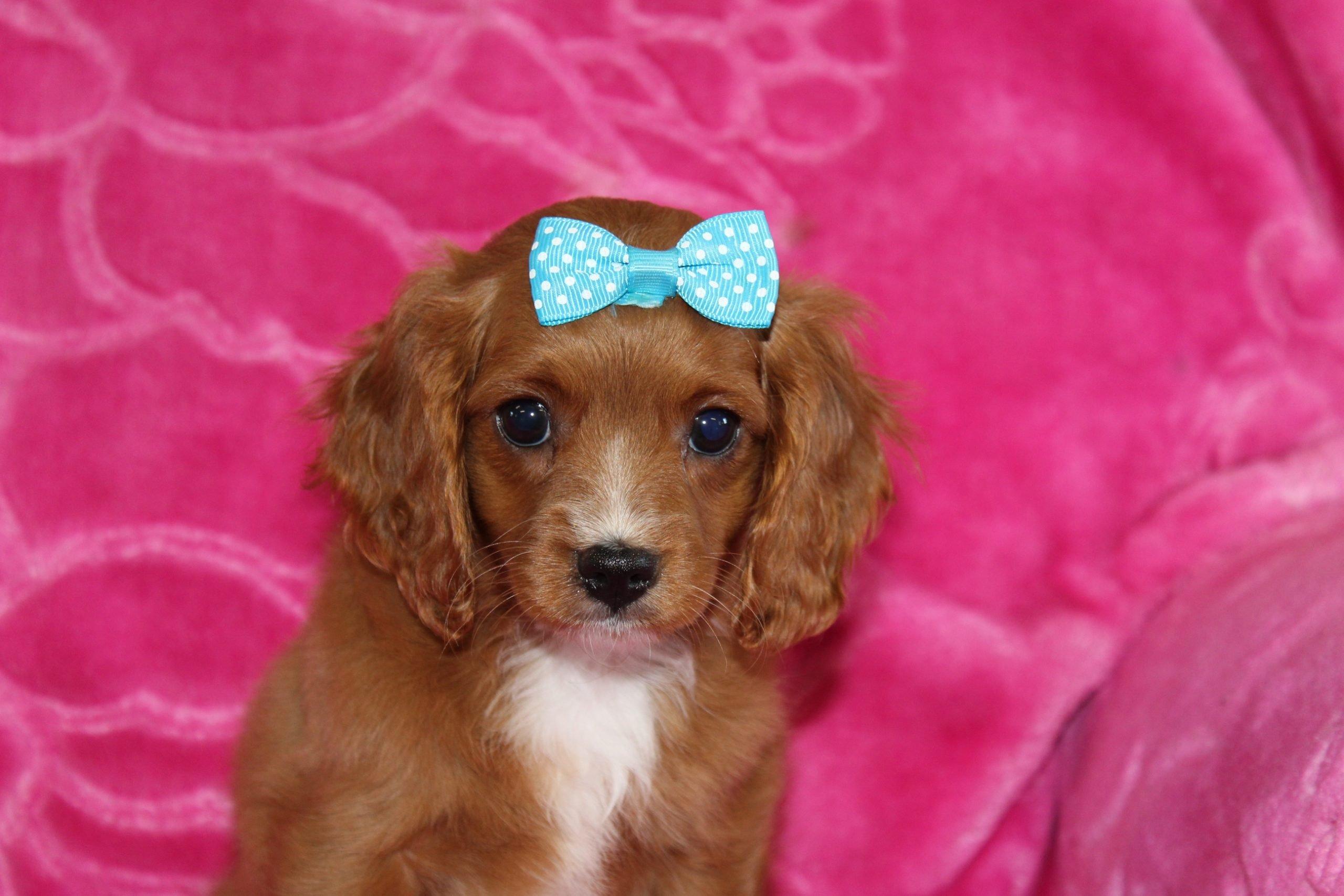 Skye - Cavapoo doggie for sale