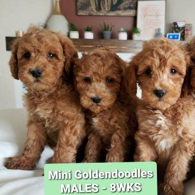 Mini Doodle - Mini Goldendoodle F1B male pupper for sale at Madison, Wisconsin