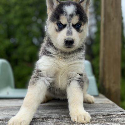Stella - doggie Pomsky female for sale at Lancaster, Pennsylvania