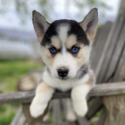 Amelia - female Pomsky puppy for sale in Lancaster, Pennsylvania
