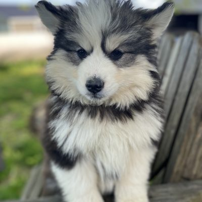 Maddie - puppy Pomsky female for sale at Lancaster, Pennsylvania