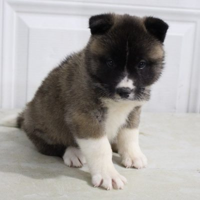 Nicole - AKC Akita female puppy for sale in New Haven, Indiana