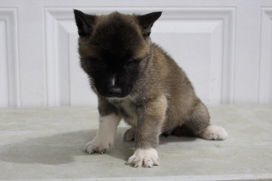 Lola - AKC Akita female pup for sale at New Haven, Indiana