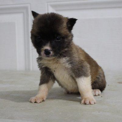 Nikki - AKC Akita female pupper for sale near New Haven, Indiana