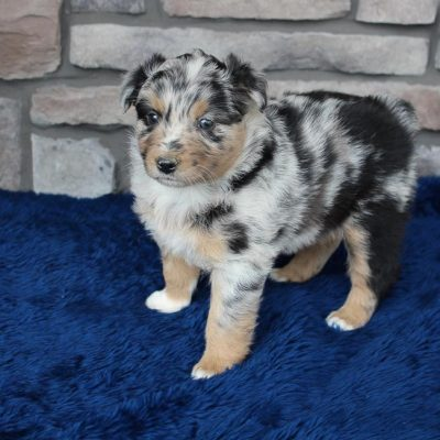 Whisper - doggie Australian Shepherd female for sale at Spencerville, Indiana