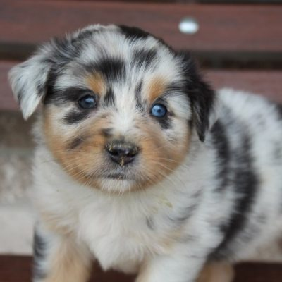 Yeti - Australian Shepherd male pup for sale near Spencerville, Indiana