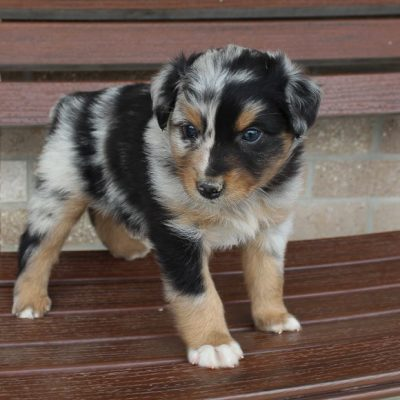 Tyler - Australian Shepherd male pupper for sale in Spencerville, Indiana
