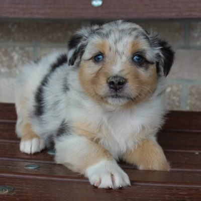 Mia - Australian Shepherd female puppie for sale at Spencerville, Indiana