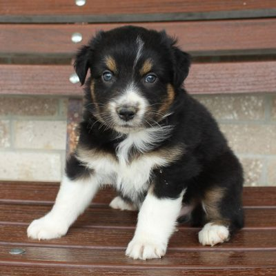 Cody - male Australian Shepherd puppy for sale in Spencerville, Indiana