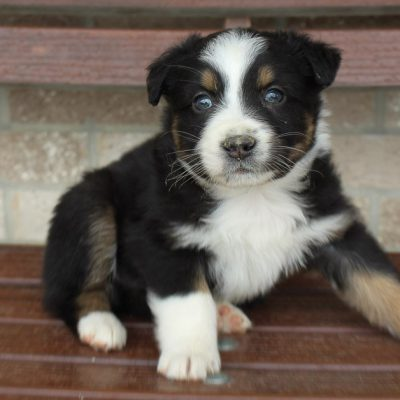 Maverick - Australian Shepherd male pup for sale at Spencerville, Indiana