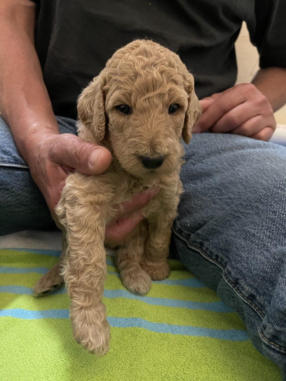 ISABELLE - AKC Standard Poodle puppy for sale in Gig Harbor, Washington