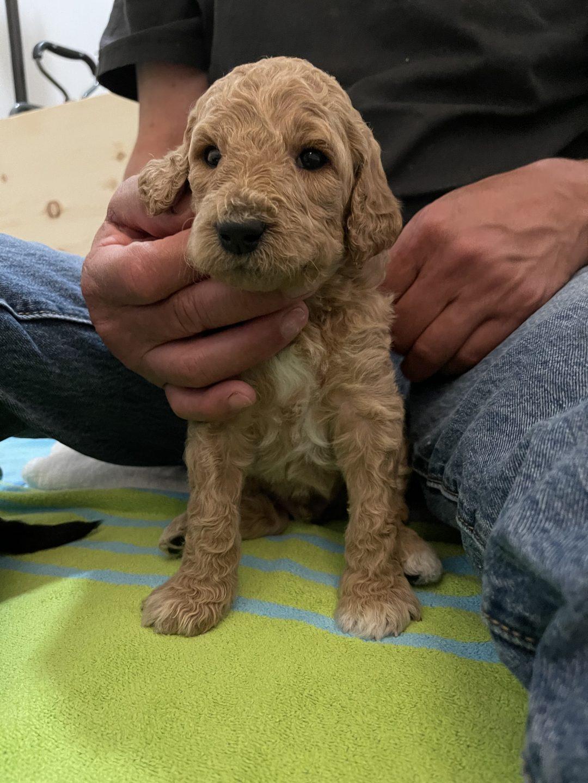 SEBASTIAN - male Standard Poodle pup for sale near Gig Harbor, Washington State