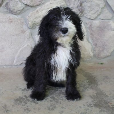 Maya - Sheepadoodle female puppie for sale in Spencerville, Indiana