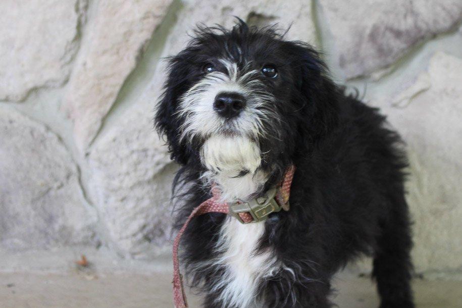Haven - Sheepadoodle female doggie for sale at Spencerville, Indiana
