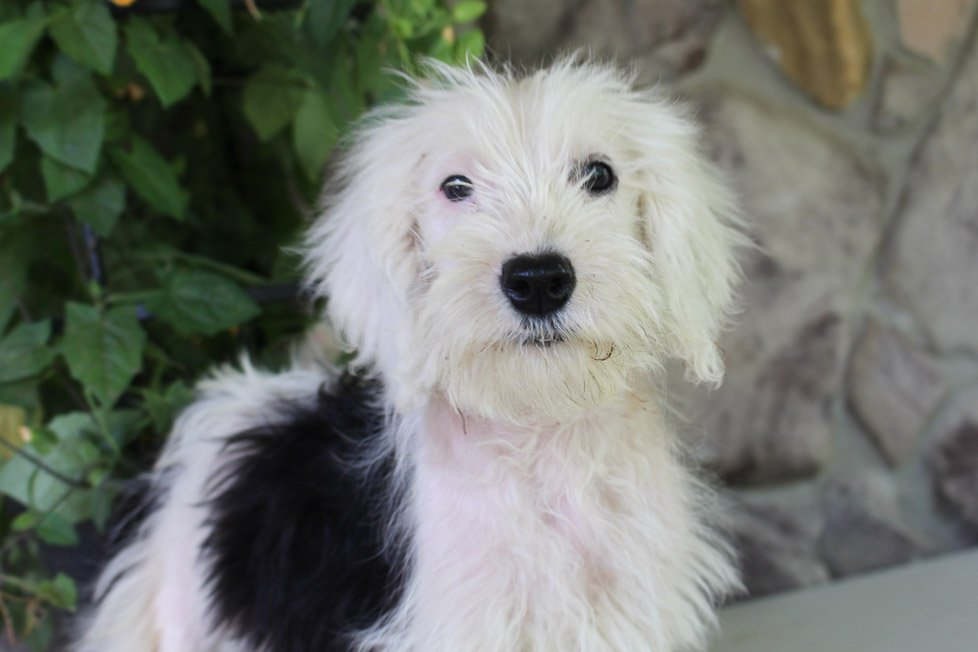 Kenzi - Sheepadoodle female puppie for sale near Spencerville, Indiana