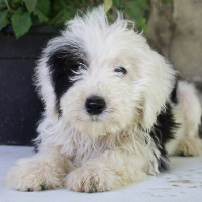 Baxter - Sheepadoodle male pup for sale at Spencerville, Indiana