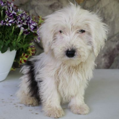 Reese - female Sheepadoodle puppy for sale in Spencerville, Indiana