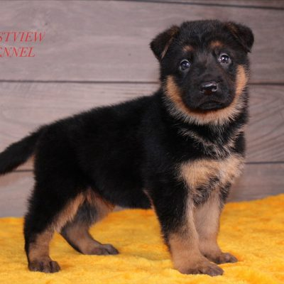 Champion - German Shepherd pup for sale