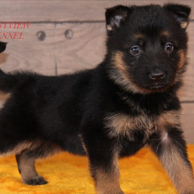 Nikki - German Shepherd female pupper for sale