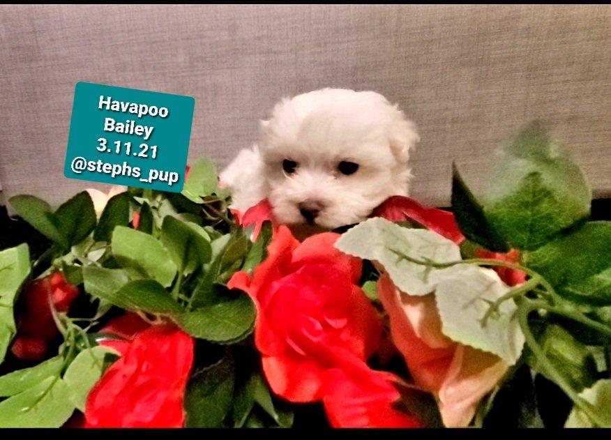 Havapoo Bailey - Havapoo male puppie for sale near Katy, Texas