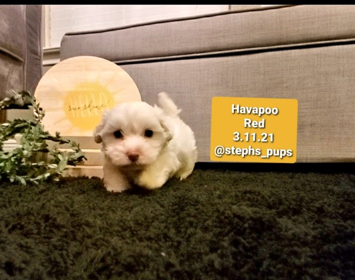 Havapoo Red - Havapoo pupper for sale at Katy, Texas