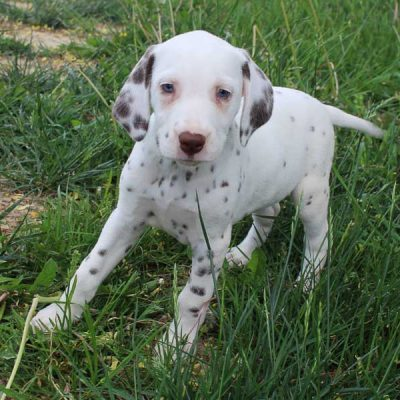 Angel - AKC Dalmatian female doggie for sale at Spencerville, Indiana