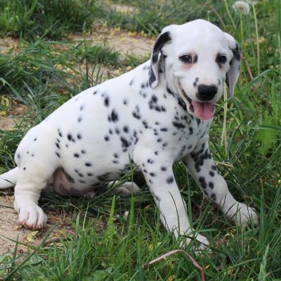 Freddie - AKC Dalmatian male pup for sale in Spencerville, Indiana