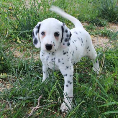 Sammy - AKC Dalmatian male pupper for sale at Spencerville, Indiana