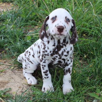 Marty - AKC Dalmatian male puppie for sale near Spencerville, Indiana