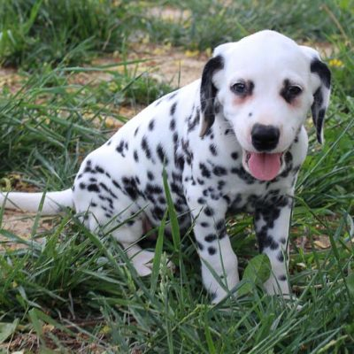 Justin - AKC Dalmatian male doggie for sale in Spencerville, Indiana