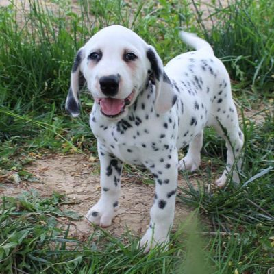Teddie - puppy AKC Dalmatian male for sale at Spencerville, Indiana
