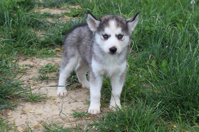 Lucy - AKC Siberian Husky female puppie for sale at Spencerville, Indiana