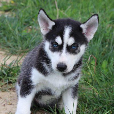 Ally - AKC Siberian Husky female doggie for sale near Spencerville, Indiana