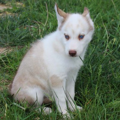 Bella - female AKC Siberian Husky puppy for sale in Spencerville, Indiana