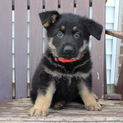 Toby - AKC German Shepherd male puppy for sale in New Haven, Indiana