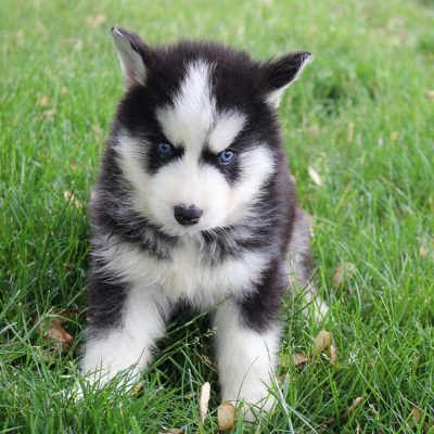 Buster - male AKC Siberian Husky pupper for sale at Grabill, Indiana