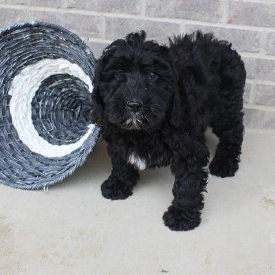 Katy - Mini Labradoodle female pup for sale near Woodburn, Indiana