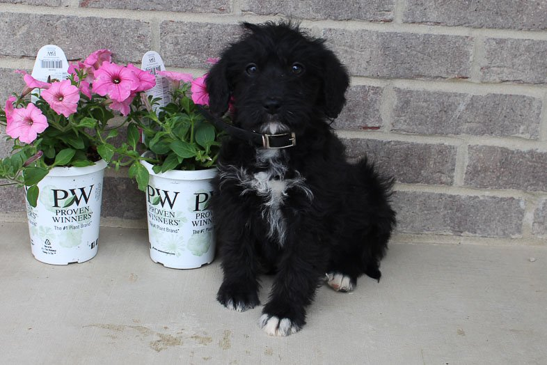 Krista - Mini Labradoodle female doggie for sale near Woodburn, Indiana