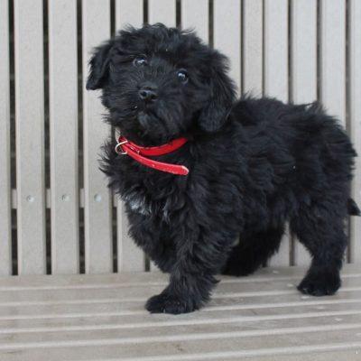Konni - Mini Labradoodle female puppie for sale at Woodburn, Indiana