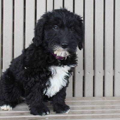 Karri - Mini Labradoodle female puppy for sale at Woodburn, Indiana