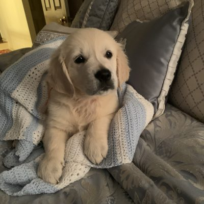 Rocket - AKC English Cream Golden Retriever male puppy for sale in Elmer, New Jersey
