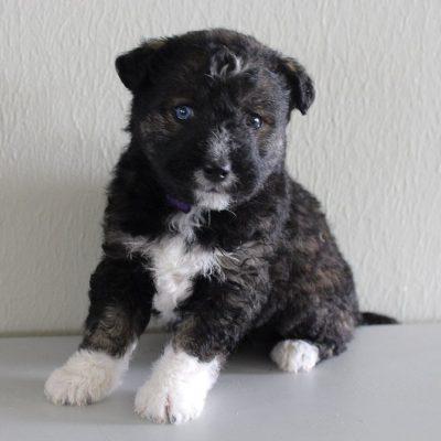 Raelynn - female Huskypoo pupper for sale at Shipshewana, Indiana