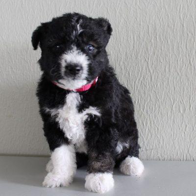Rylee - Huskypoo female puppie for sale near Shipshewana, Indiana