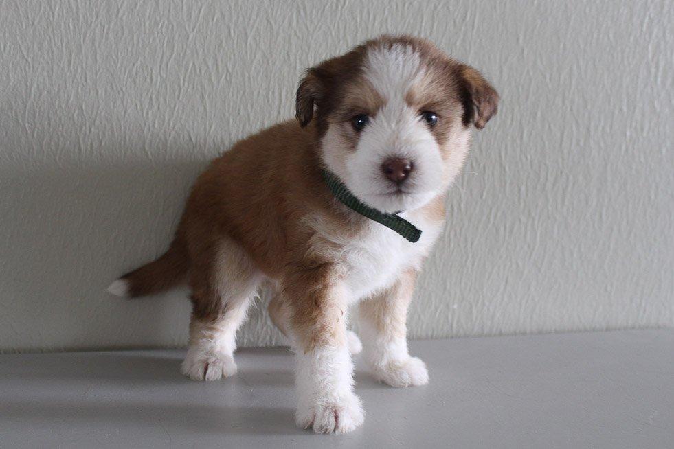Jadelyn - Huskypoo female pup for sale near Shipshewana, Indiana