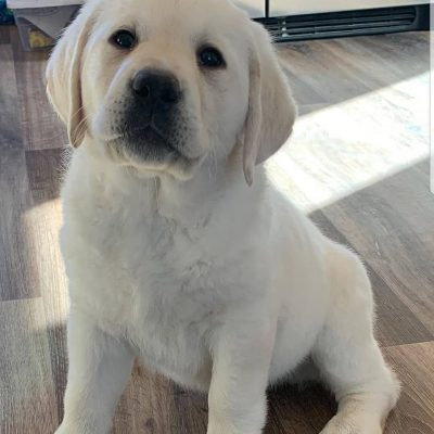 Effiong - Labrador Retriever female puppie for sale near Jetersville, Virginia