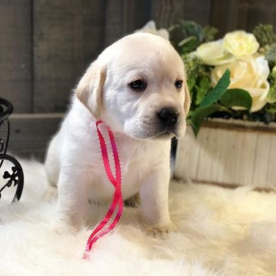 Zhuli- Labrador Retriever female pup for sale in Jetersville, Virginia