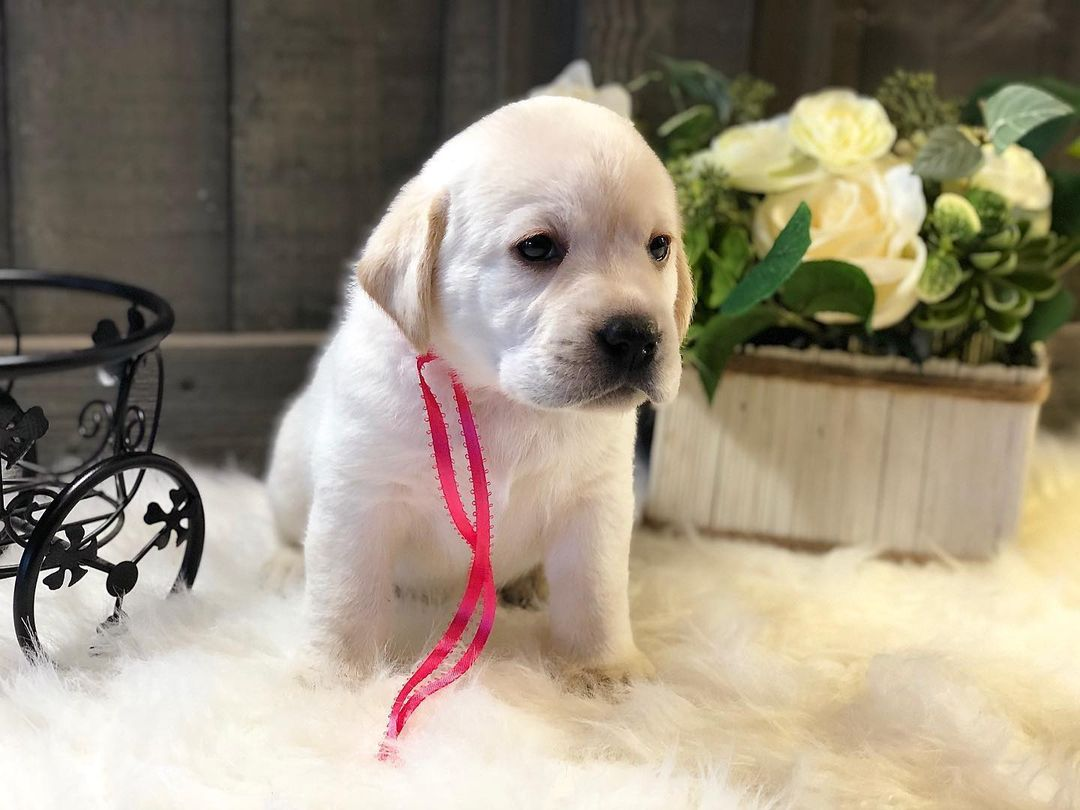 Zhuli- Labrador Retriever female pup for sale in Jetersville, Virginia