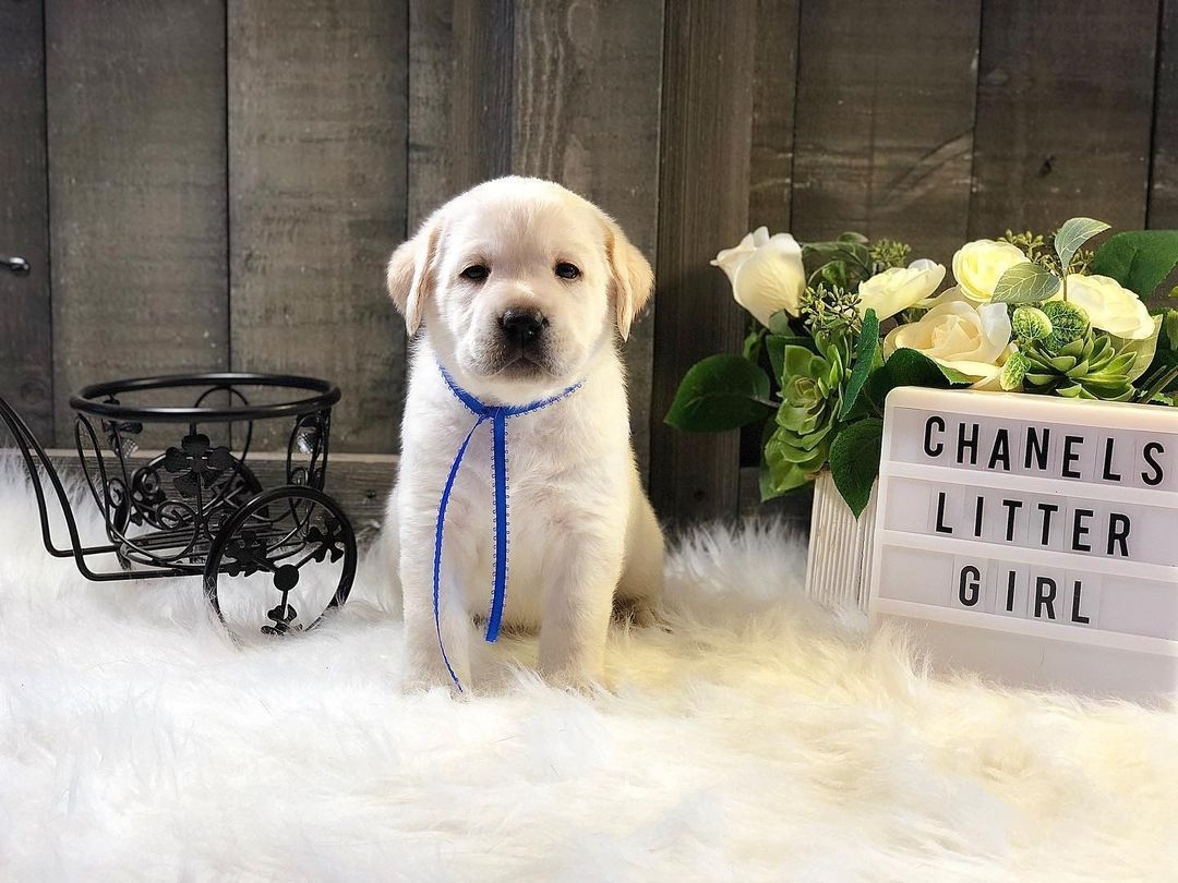 Suzi- Labrador Retriever female doggie for sale at Jetersville, Virginia