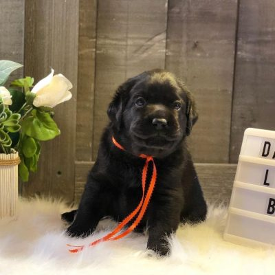 Rocky- Labrador Retriever male puppie for sale in Jetersville, Virginia