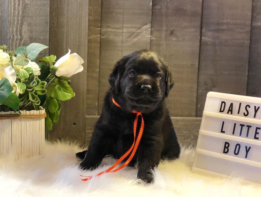 Rocky- Labrador Retriever male puppie for sale in Jetersville, Virginia